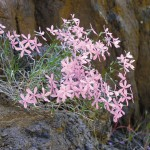 Snake River phlox grows in rocky sites.