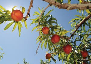 Orchard fresh — that's peachy: Locovores, the season for u-pick is here