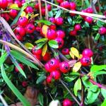 360 bearberry 1107