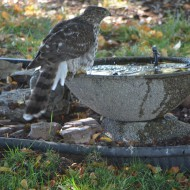 A hawk at backyard bird bath