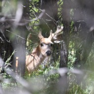 Daren McCann of Lewiston spotted this deer bedded down at Elk Point in the Blues July 5