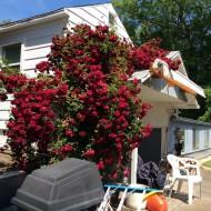 Rose bush climbing on roof.