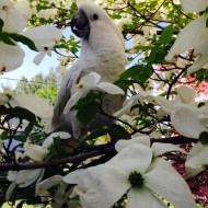 14 year old cockatoo, Zoolee in the Dogwood tree. Submitted by Jan Hicks of Clarkston