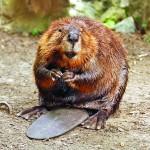 360 listicle casorteum beaver