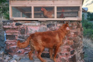 A dog checks out the chickens that brought in for the show.