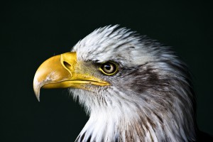 This bald eagle definitely knows these super American words. Do you?