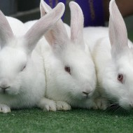 Area workshop discusses bringing up bunny (as a main dish)