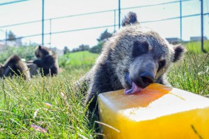 A six-month old bear cub plays with a block of flavored ice, Thursday, July 2, 2015, at the Washington State University Bear Research, Education, and Conservation Center on the WSU Campus. The cub is one of four six-month-old bears born to female adults at the research facility earlier this year. The center has begun a fundraising campaign to increase the size of the enclosure, allowing for the extra space that will be needed when the cubs are fully grown. More information on the bear facility and their fundraising efforts can be found at Environment.wsu.edu/facilities/bears/bear-center.html.