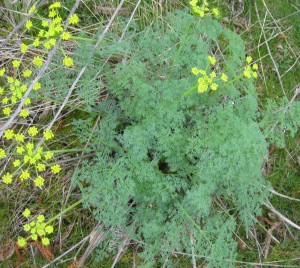 Gray's desert parsley