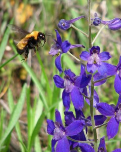 Low larkspur blooms from mid-April to May in region. Like all larkspurs it is poisonous to livestock.