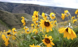 Arrowleaf balsamroot in full bloom on the breaks of the Snake River south of Lewiston. (Lewiston Tribune photo by Eric Barker)