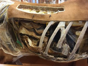 close up of cow in veterinary anatomy museum