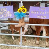 Mother Cow and Calf at the Fair
