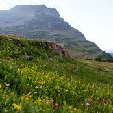Wildflowers at Glacier National Park