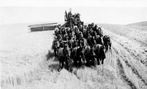 A 32-horse-drawn Rumley combine works the harvest in Riperia, Wash., circa 1938, and is one on display Sept. 1 in Colfax. Photo from Della Evans