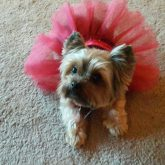My Yorkie with holiday dress