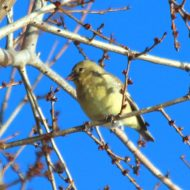 Goldfinch eating buds