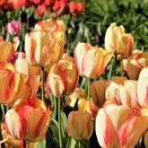 Spring Tulips in Clarkston