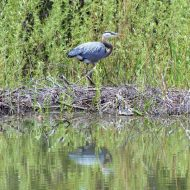 Blue Heron and Turtle