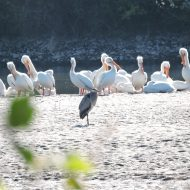 Heron hanging out with its Pelican pals.