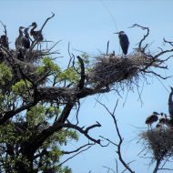Blue Herons and Babies in Nests