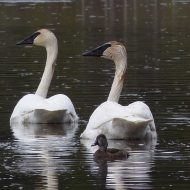 Trumpeter Swans are Huge!