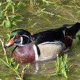Wood duck on White Rock Lake
