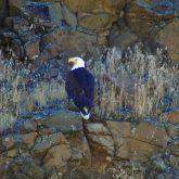 Bald Eagle on a Rocky Ledge