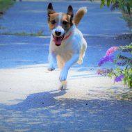 Sprinting Jack Russell Terrier