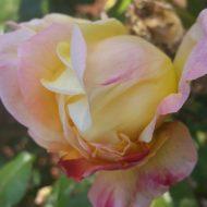 Sweet October Rose