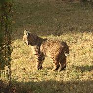 Bobcat in Pullman