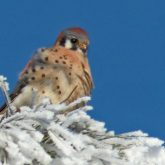 Frosty perch
