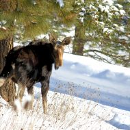 Moose on the Loose on the Palouse