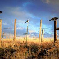 Three Birds on a Fence