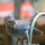 Juvenile Steller's Jay