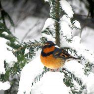 Varied Thrush in Snow