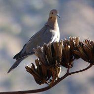 A Southwestern Dove Posing on a Century Plant
