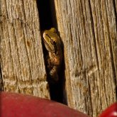 Frog in a stump