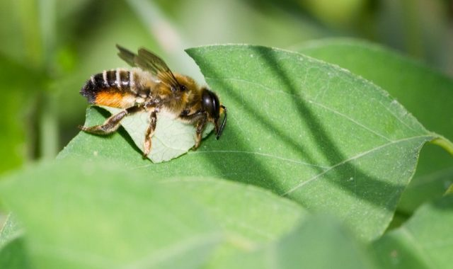 Let them bee: Celebrate Earth Day by doing something for native bees
