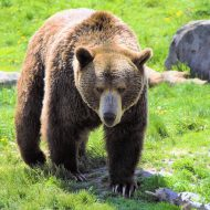 Grizzly Up Close