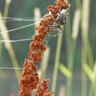 Dixie Spider