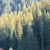 Larch Above Kelly Creek, Too