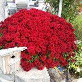 Burgany Chrysanthemum