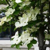 Beautiful White Dogwood