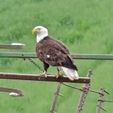 Bald Eagle near Tensed, Idaho