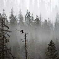 Lonely Bald Eagle