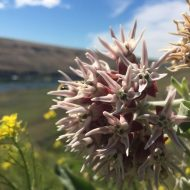 My milkweed brings all the bees to the yard: Landscaping with native plants benefits pollinators